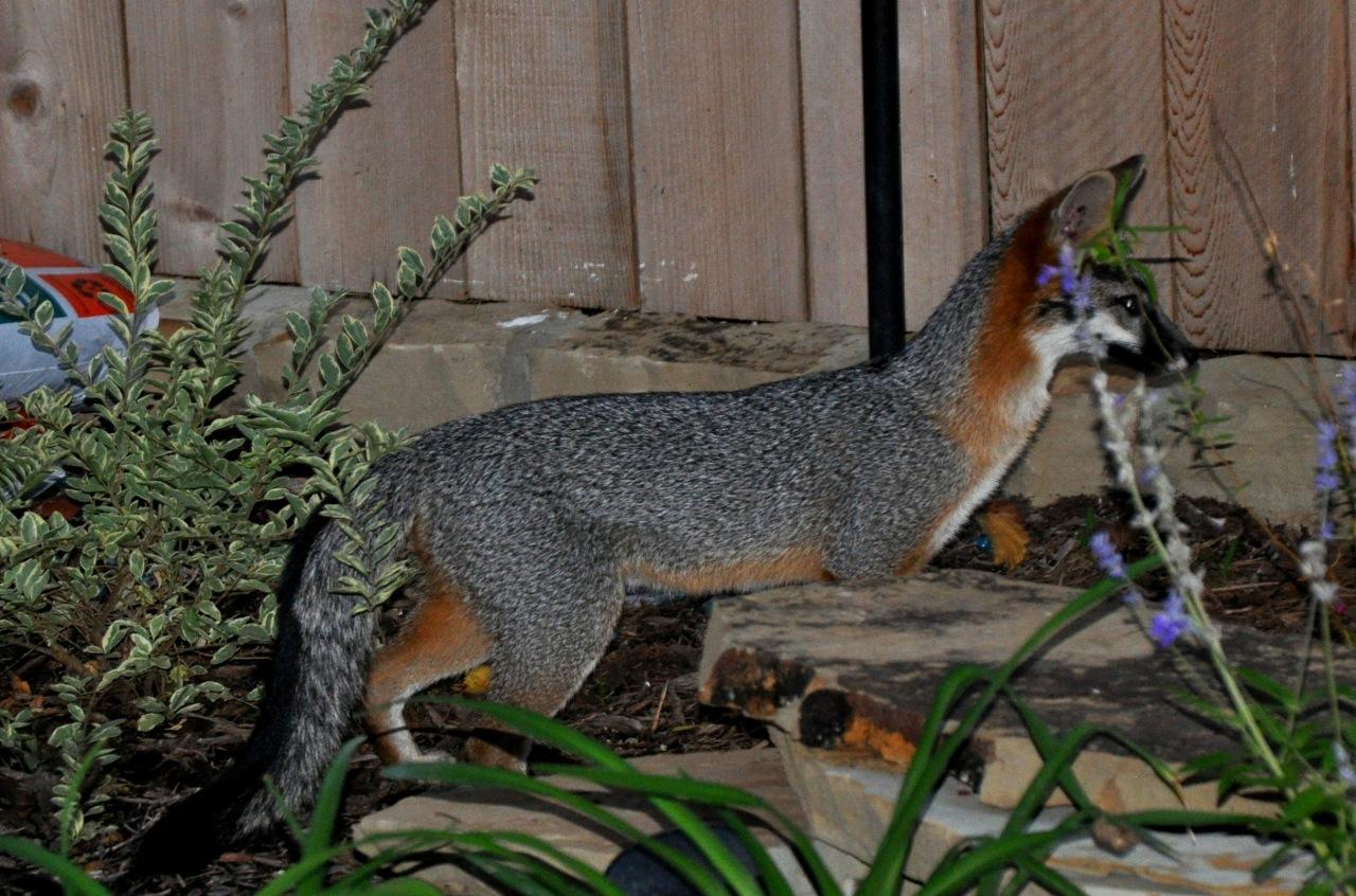 Foxy II